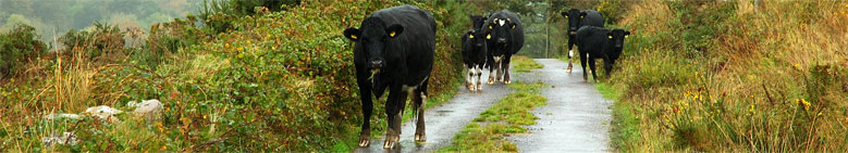 Grazing the long acre, Ballyvourney, Cork
